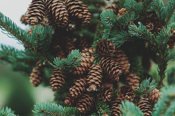 tilt-shit lens photography of pine cones