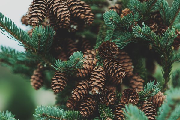tilt-shit lens photography of pine cones